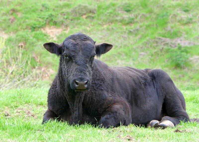 Svart ko som lägger i grönt fält arkivbilder