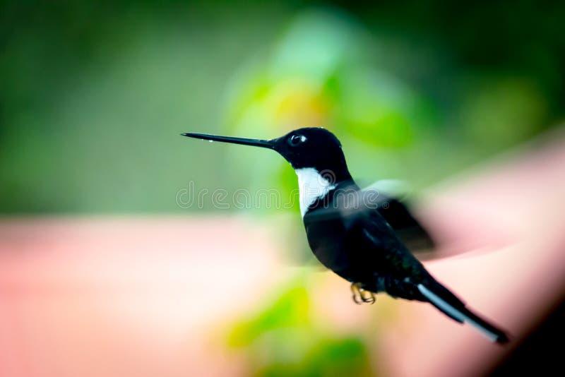 Svart kolibri royaltyfria bilder