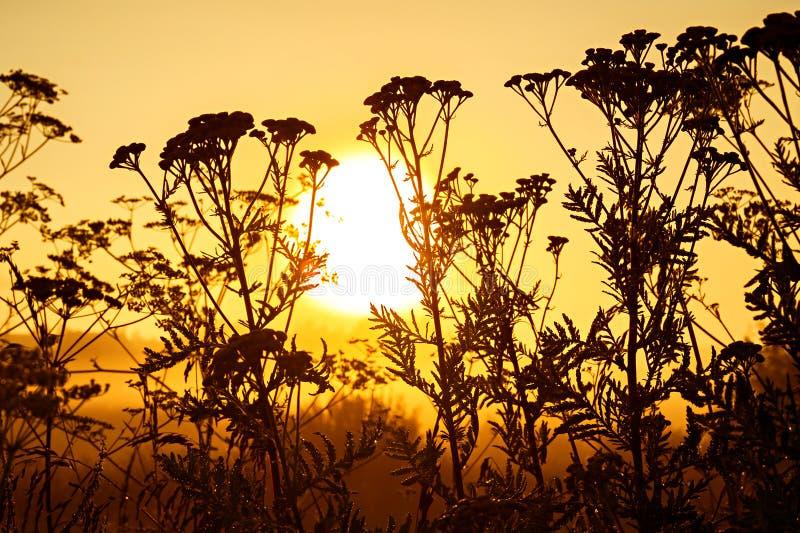 Svart kontur av att blomma vildblommor i solljus på soluppgång royaltyfria foton