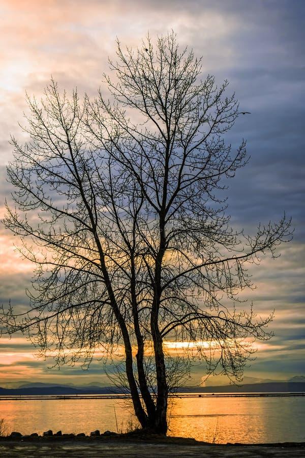 Svart kontur av ett träd utan rollbesättningar mot backgrouen royaltyfria foton