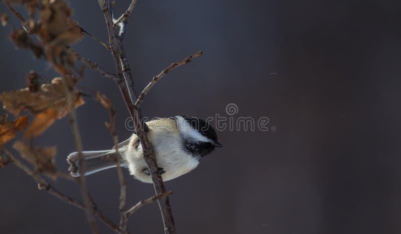 Svart-korkad chickadee för vinter som är klar att ta flyg arkivbild