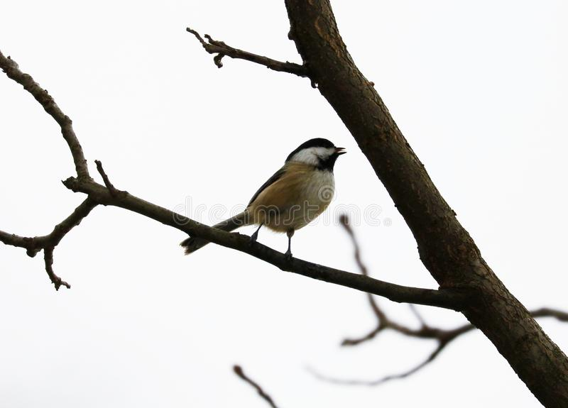Svart-korkad chickadee som sjunger på en trädfilial i Michigan royaltyfri fotografi