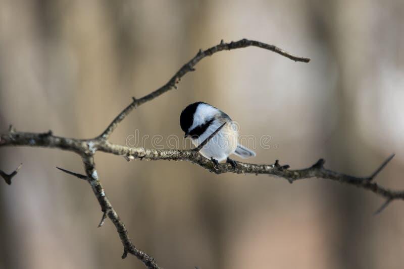 Svart korkad Chickadeefågel på taggig filial arkivbilder