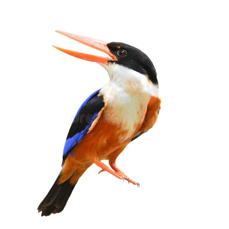 Svart-korkad kungsfiskarefågel arkivbilder