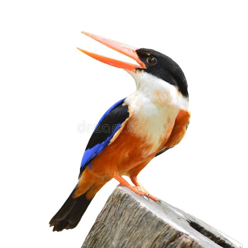 Svart-korkad kungsfiskarefågel fotografering för bildbyråer