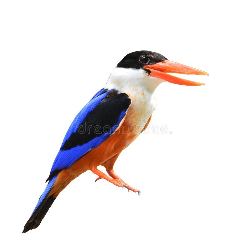 Svart-korkad kungsfiskarefågel arkivfoton