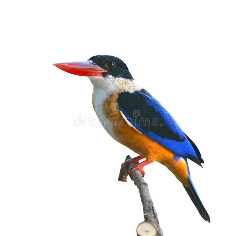Svart-korkad kungsfiskarefågel royaltyfri fotografi