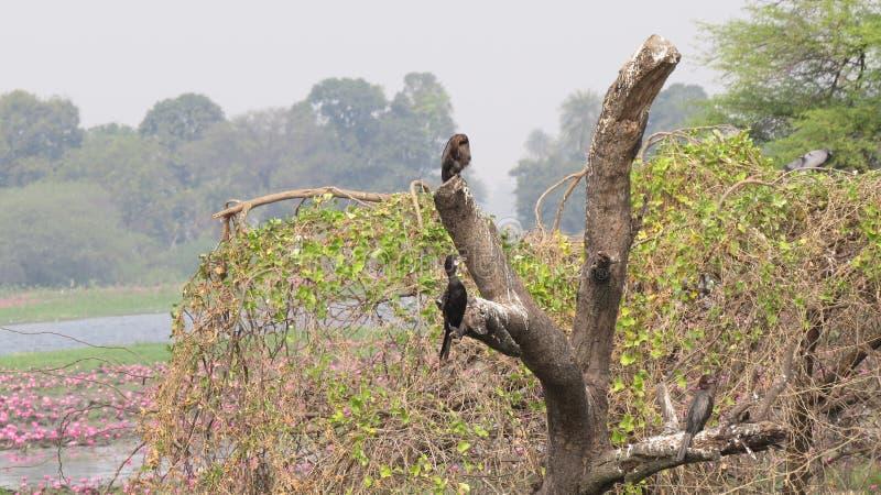 Svart kormoranfågel för singel på trädstammen arkivfoto