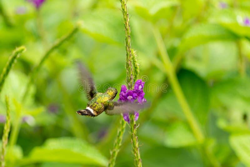 Svart-krönad flört ( Lophornis helenae) kolibri i Costa Rica royaltyfri fotografi