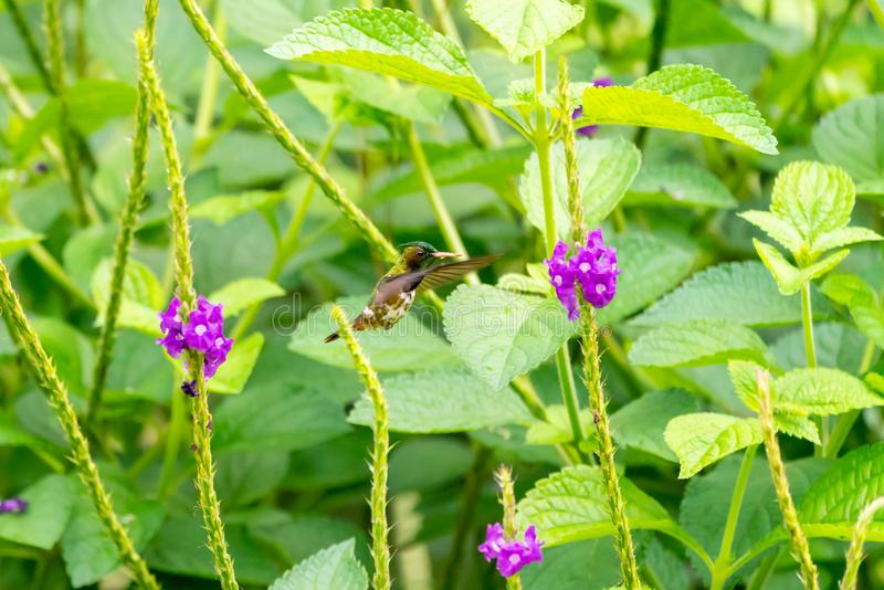 Svart-krönad flört ( Lophornis helenae) kolibri i Costa Rica royaltyfri foto