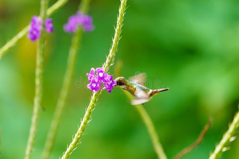 Svart-krönad flört ( Lophornis helenae) kolibri i Costa Rica fotografering för bildbyråer