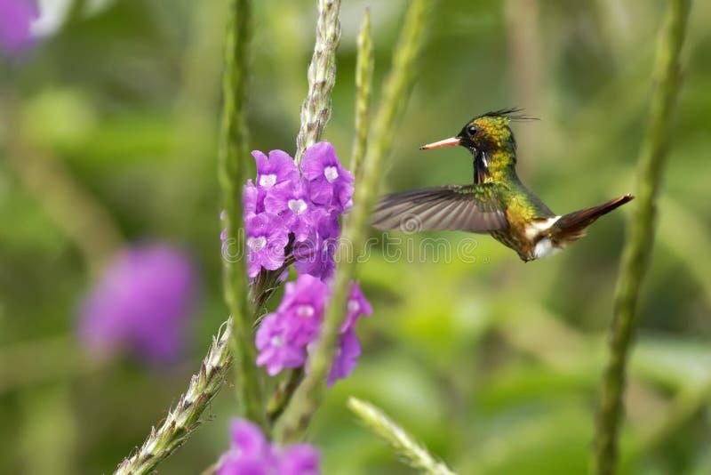 Svart-krönad flört - Lophornis helenae som svävar bredvid den violetta blomman i trädgård, fågel från den tropiska skogen för ber arkivbild