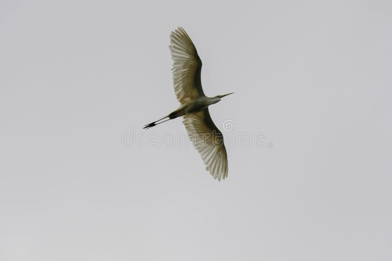Svart krönad natthäger i flykten under en grå Nycticoraxnycticorax för molnig himmel fotografering för bildbyråer