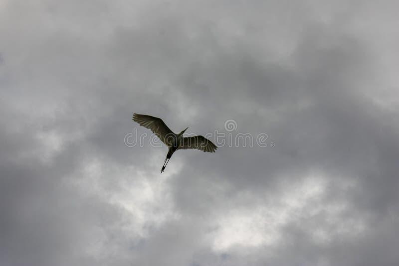 Svart krönad natthäger i flykten under en grå Nycticoraxnycticorax för molnig himmel arkivfoto