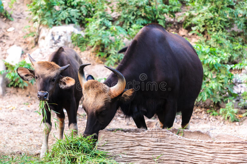 Svart lös tjur och kalv som äter gräs arkivfoton