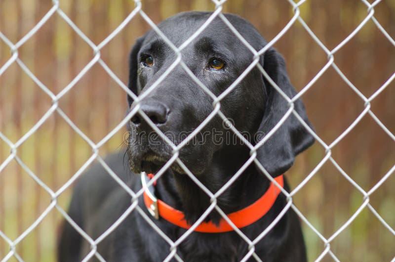 Svart labb caged upp i hundkoja arkivbild