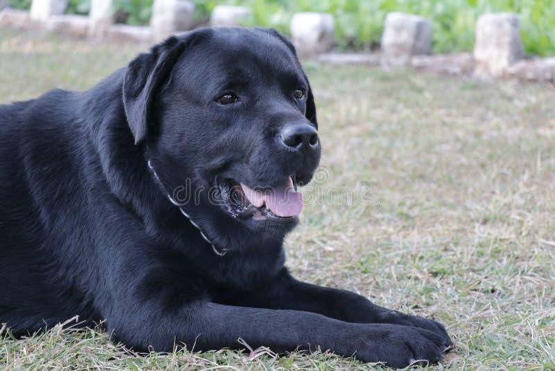Svart labrador hund som in som ser något är rak arkivfoto