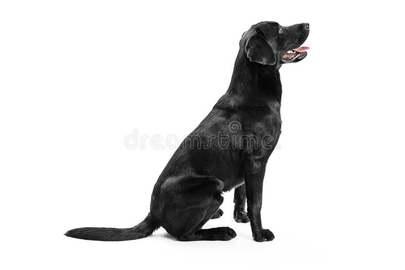Svart Labrador royaltyfri fotografi