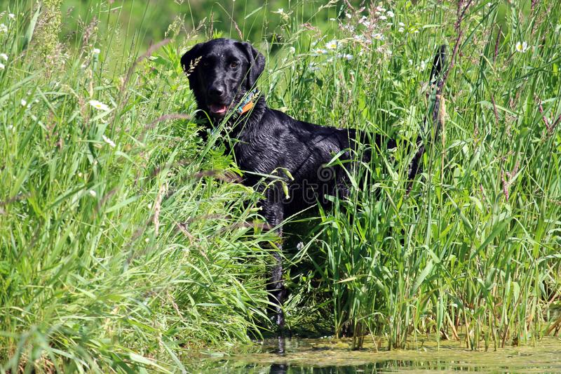 svart labrador retriever arkivbilder
