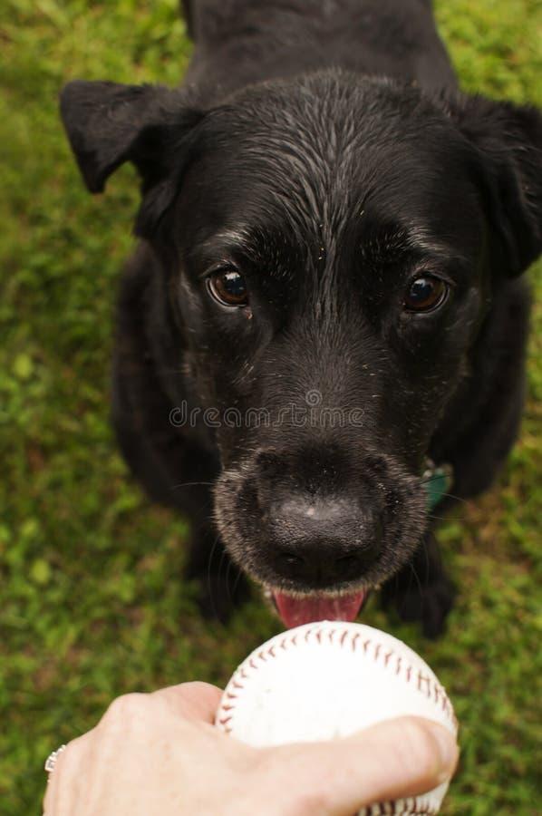 Svart labrador retriever tilltalande boll arkivbild
