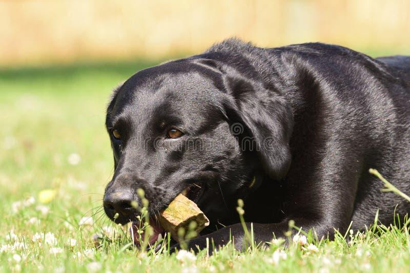 Svart labrador som ligger på gräset, medan tugga en sten royaltyfri bild