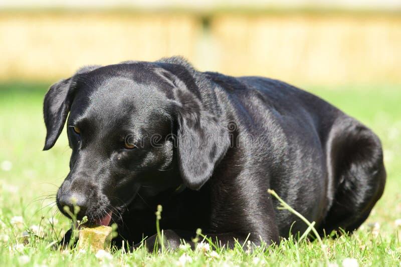 Svart labrador som ligger på gräset, medan tugga en sten royaltyfria bilder