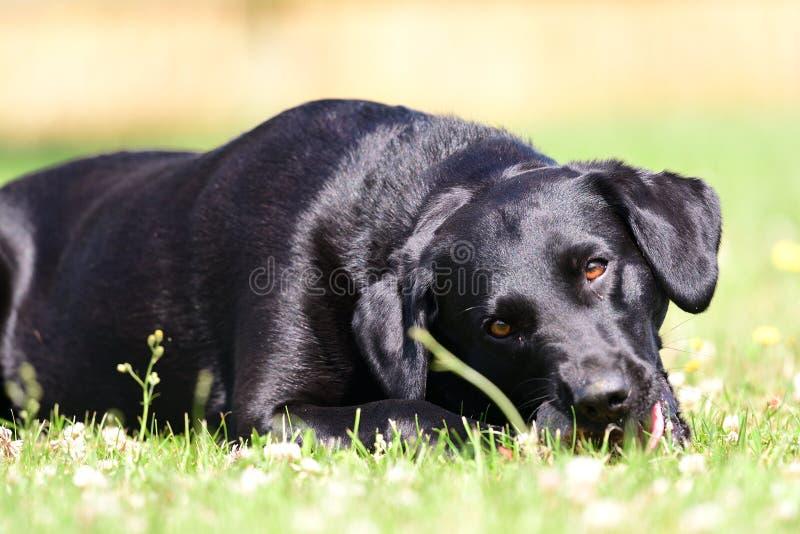Svart labrador som ligger på gräset, medan tugga en sten royaltyfri foto