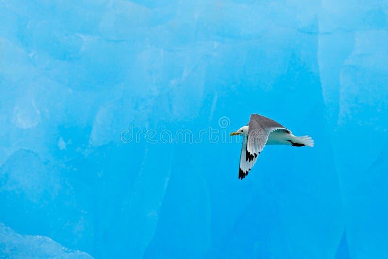 Svart-lagd benen på ryggen tretåig mås, Rissatridactyla, med den blåa isglaciären, isberg, i bakgrund, Svalbard, Norge royaltyfri fotografi