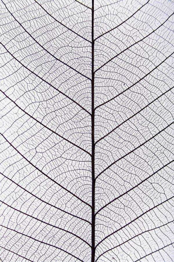 svart leafmodellåder fotografering för bildbyråer