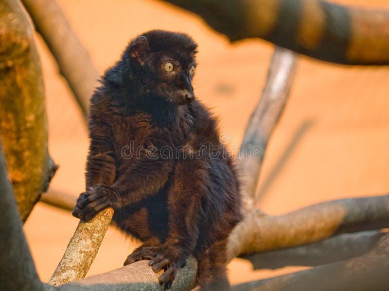 svart lemur royaltyfria foton