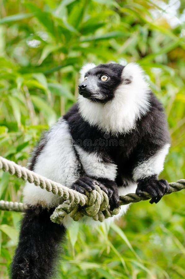 svart lemur ruffed white arkivfoto