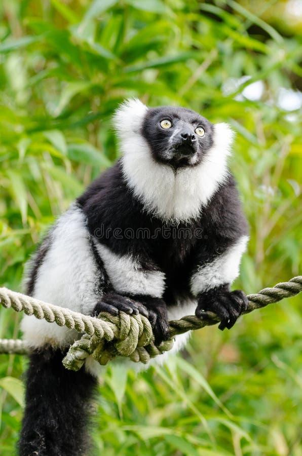 svart lemur ruffed white royaltyfri bild