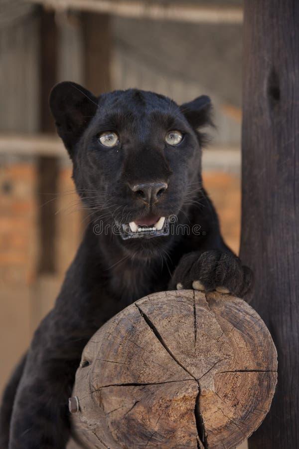 svart leopard royaltyfria bilder