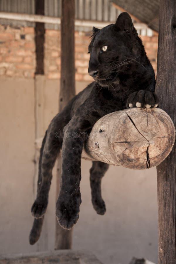 svart leopard arkivbild