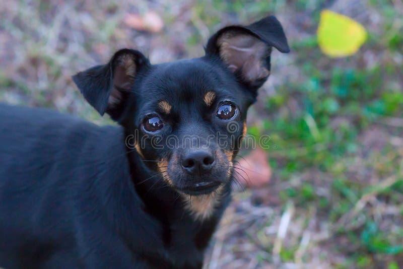 Svart liten hund med härliga ögon arkivfoton