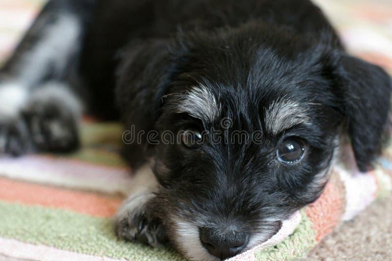 svart liten schnauzer fotografering för bildbyråer