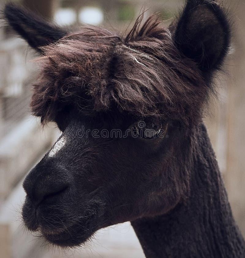 svart llama fotografering för bildbyråer