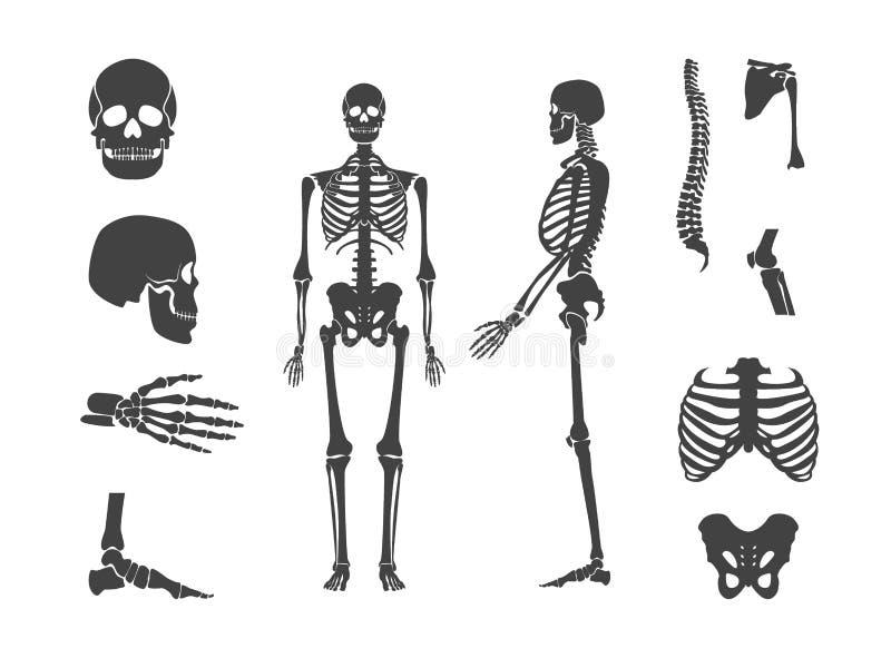 Svart mänsklig skelett- och deluppsättning för kontur vektor vektor illustrationer