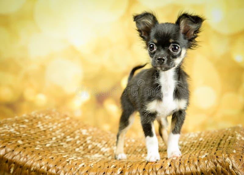 Svart manlig Chihuahuavalp med guld- bakgrund royaltyfria foton