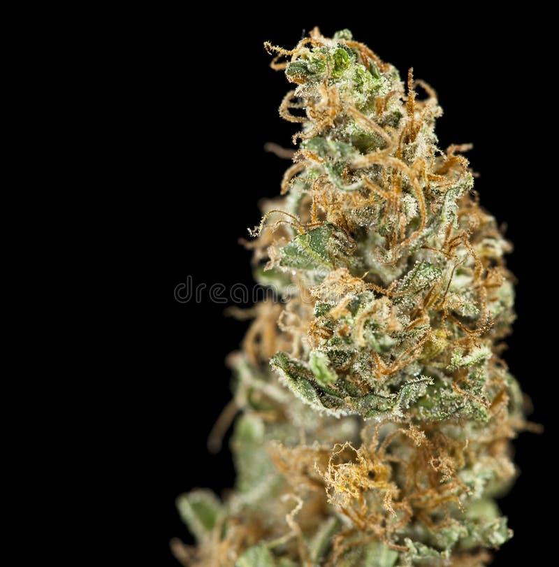 svart marijuana royaltyfri bild