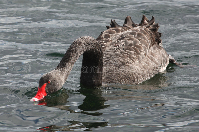 svart matande swan fotografering för bildbyråer