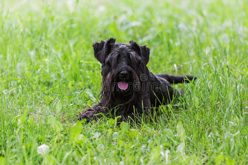 Svart miniatyrschnauzerhund som ligger på grönt gräs arkivbild