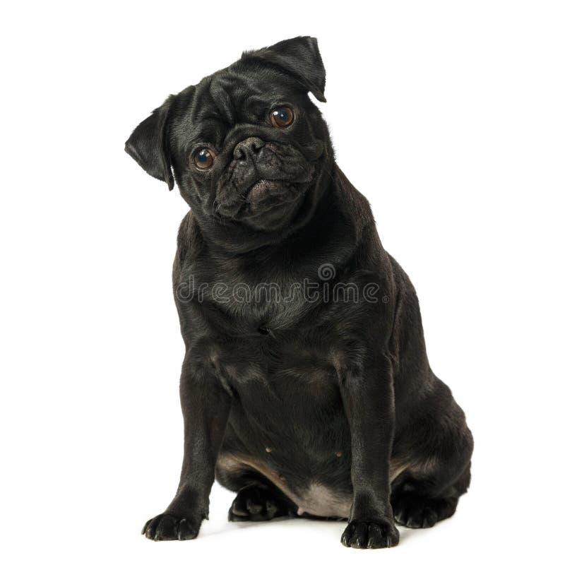 Svart mopshund, på vit bakgrund arkivfoto