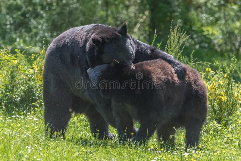 Svart munhuggas för björnar royaltyfri fotografi