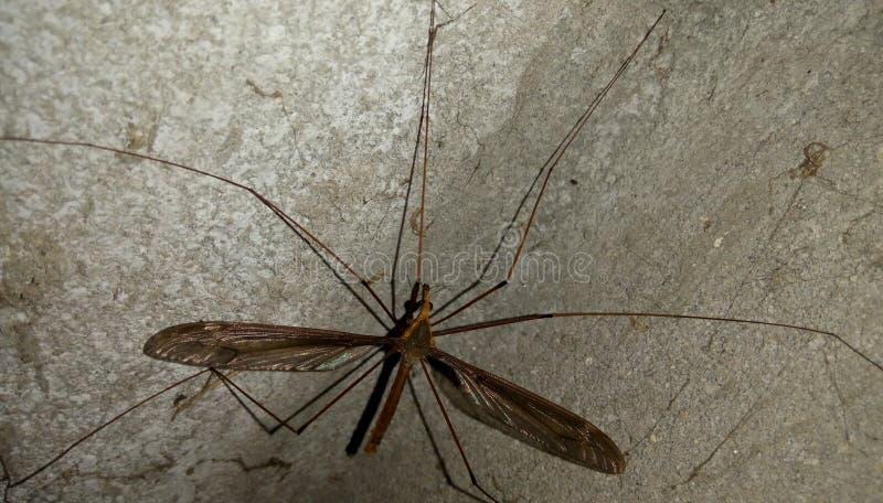 Svart mygga i thavägg arkivfoton