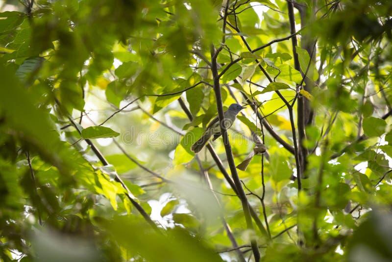 Svart - naped monark fotografering för bildbyråer