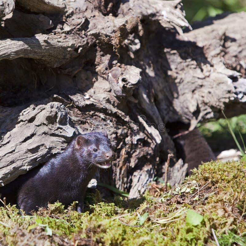 Download Svart Neovison För Amerikansk Mink Vison Fotografering för Bildbyråer - Bild av trees, gräs: 27277711
