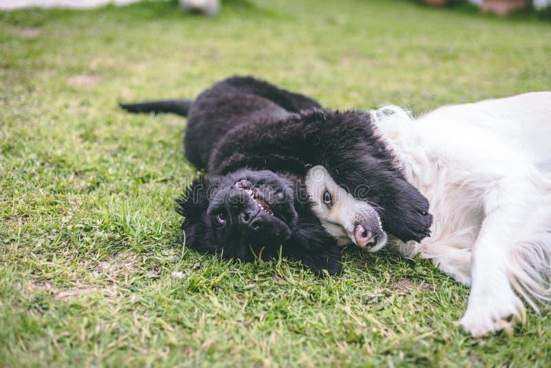 Svart newfoundland för fullblod som valp spelar med en vit golden retrievervuxen människahund arkivbild