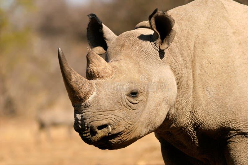 svart noshörning royaltyfri foto