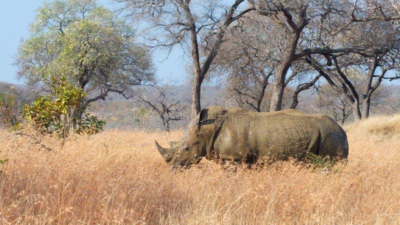 Svart noshörning för man royaltyfria foton